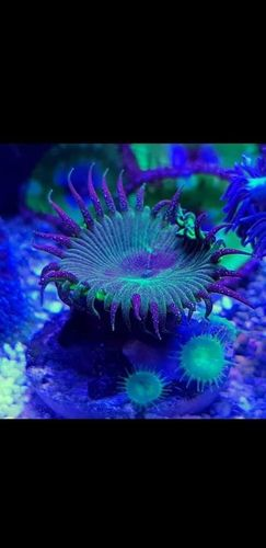 nuclear green grandsis single zoa on frag plug