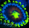kaleidoscope morph of eagle eye zoa on frag plug