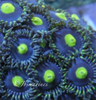 joeys emporer zoa on frag plug