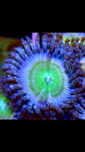 brooklyn people eater zoa on frag plug