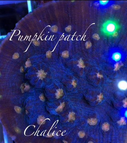 ultra chalices pumpkin patch chalice frag on frag plug
