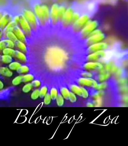blow pop zoa on frag plug