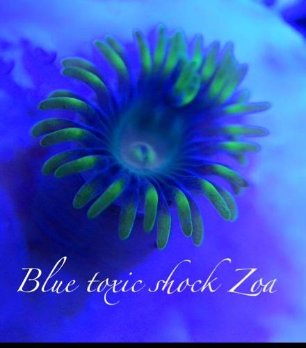 blue toxic shock zoa on frag plug