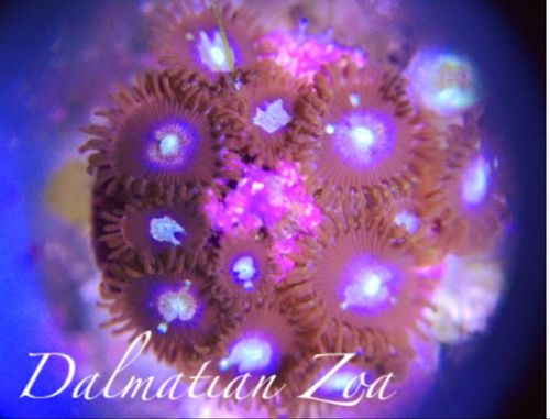 dalmation zoa on frag plug