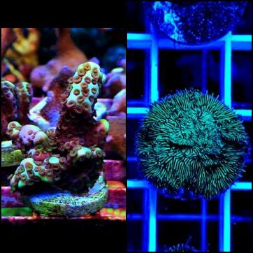 montipora spongodes and green pavona pack