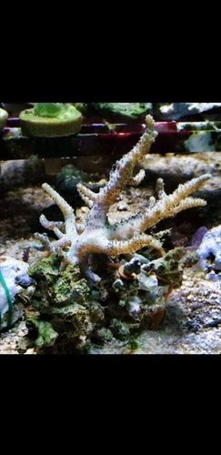 white finger coral on live rock