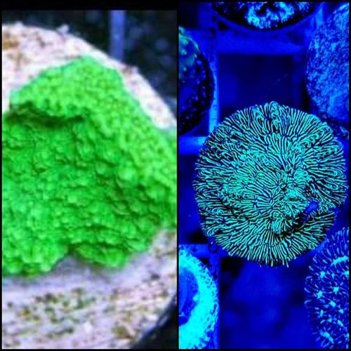 green pavona and green montipora plate twin pack