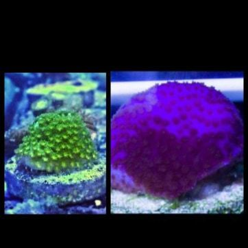 purple haze montipora and reverse sun monti set