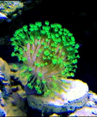 NEON GREEN toldstool frag