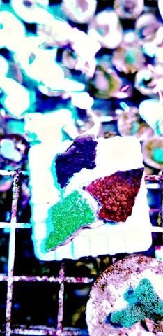 40mm frag square plug purple green and red montipora garden special offer