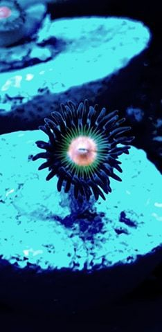 tropical green zoa