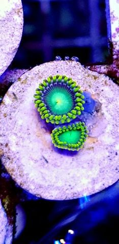 twin radio active green zoas